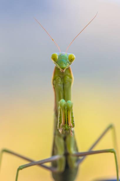 Praying Mantis frontal stock photo