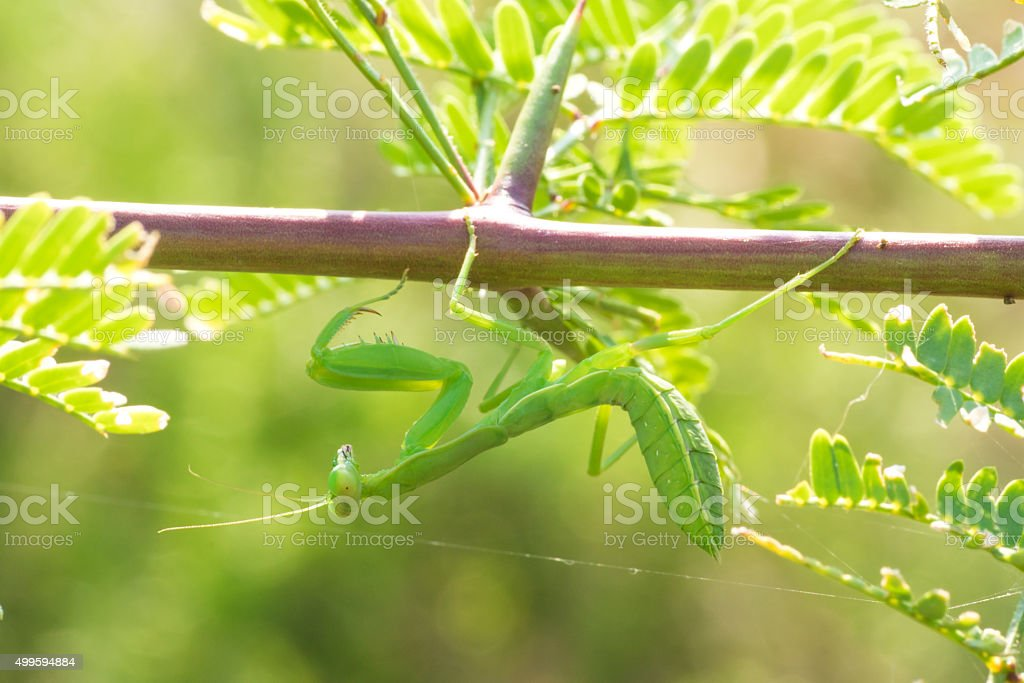 Praying Mantis Hanging from a Branch stock photo