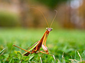 Extreme close-up of a praying mantis insect.