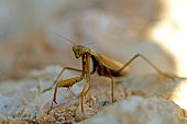 istock Praying mantis in the garden 1216679579