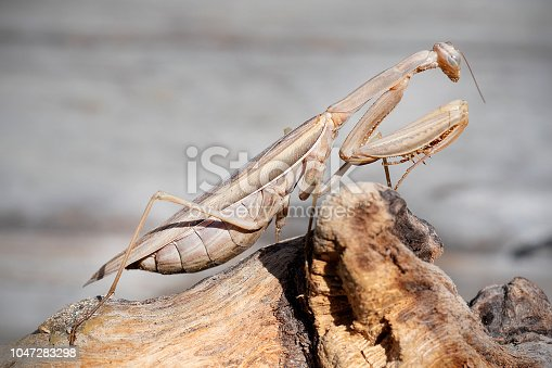 Side view of praying mantis, Mantis religiosa. Brown morph common in San Francisco Bay area, California, USA.