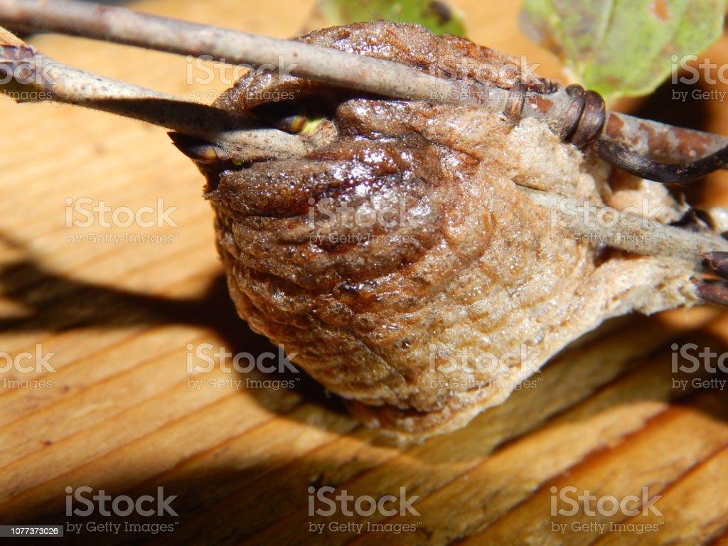 praying mantis nest images