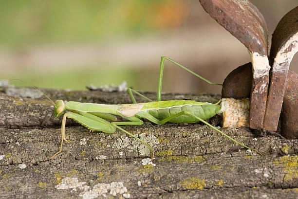 Praying Mantis Nest stock photo