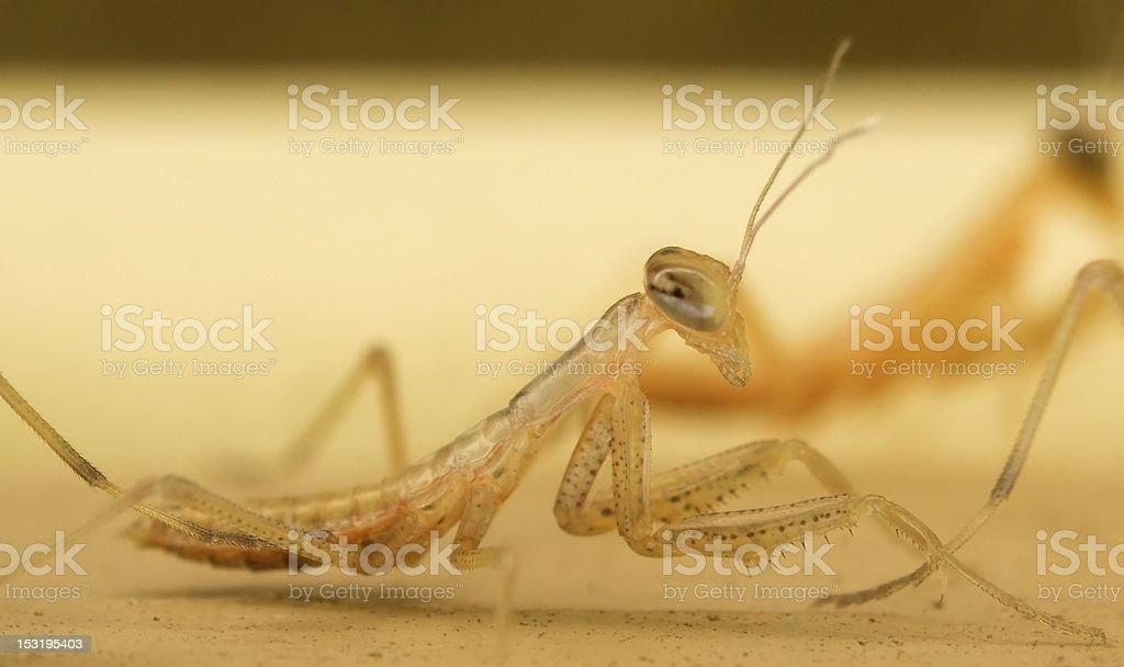 Praying Mantis Nymph Stock Photo Download Image Now Istock