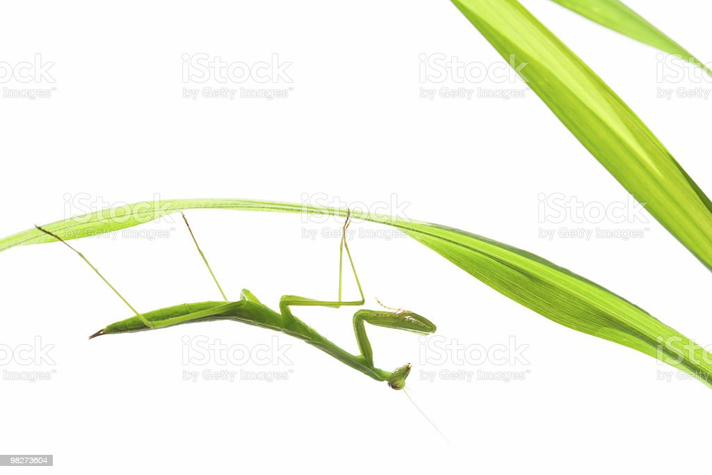 Praying Mantis on Grass, Isolated royalty-free stock photo