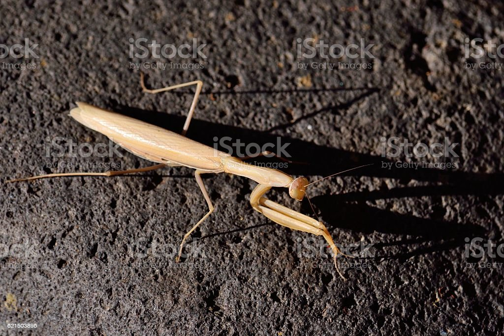 Praying mantis on rock foto stock royalty-free