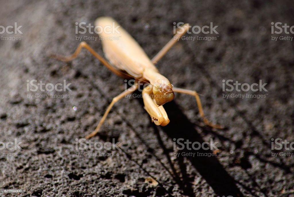 Praying mantis on rock photo libre de droits