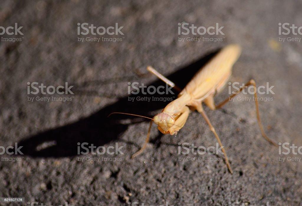 Praying mantis on rock Lizenzfreies stock-foto