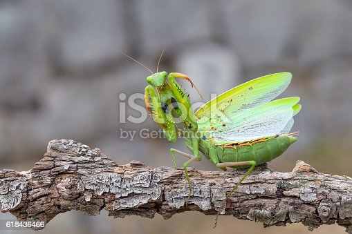 istock Praying mantis on the branch in defensive position 618436466