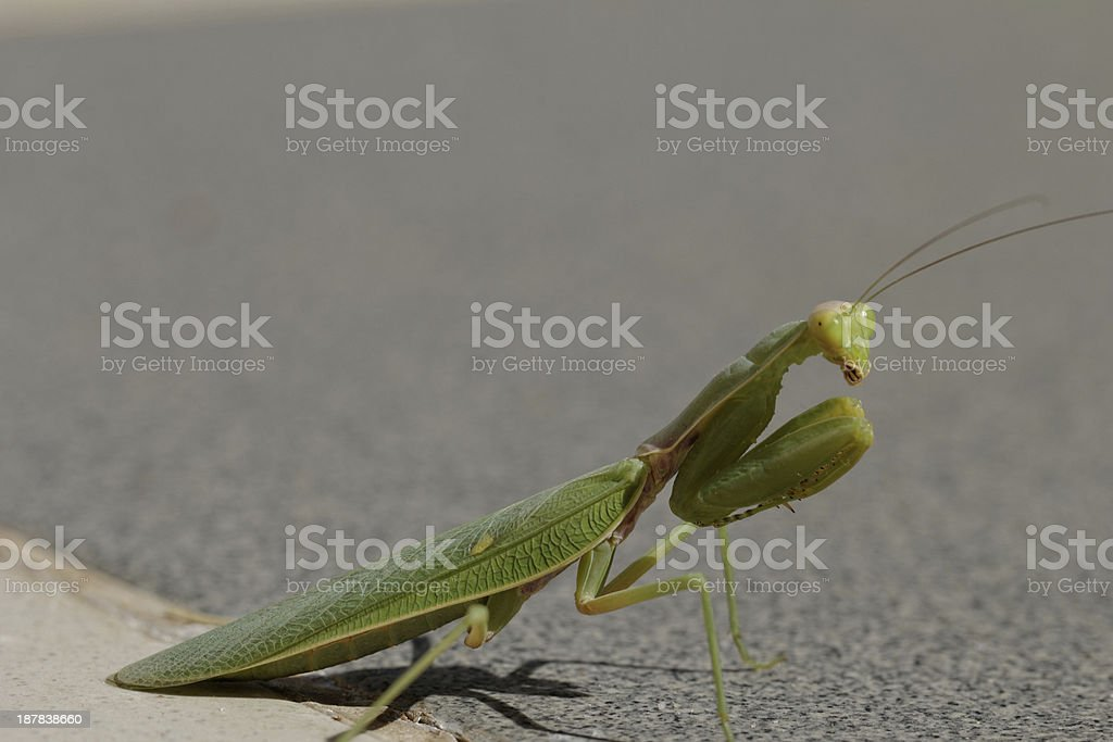 Praying Mantis on the floor royalty-free stock photo