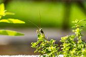 Praying Mantis On Thyme Plant