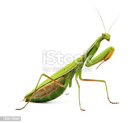 Praying mantis isolated on white