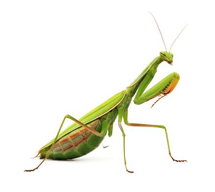 Green mantis perching on plant