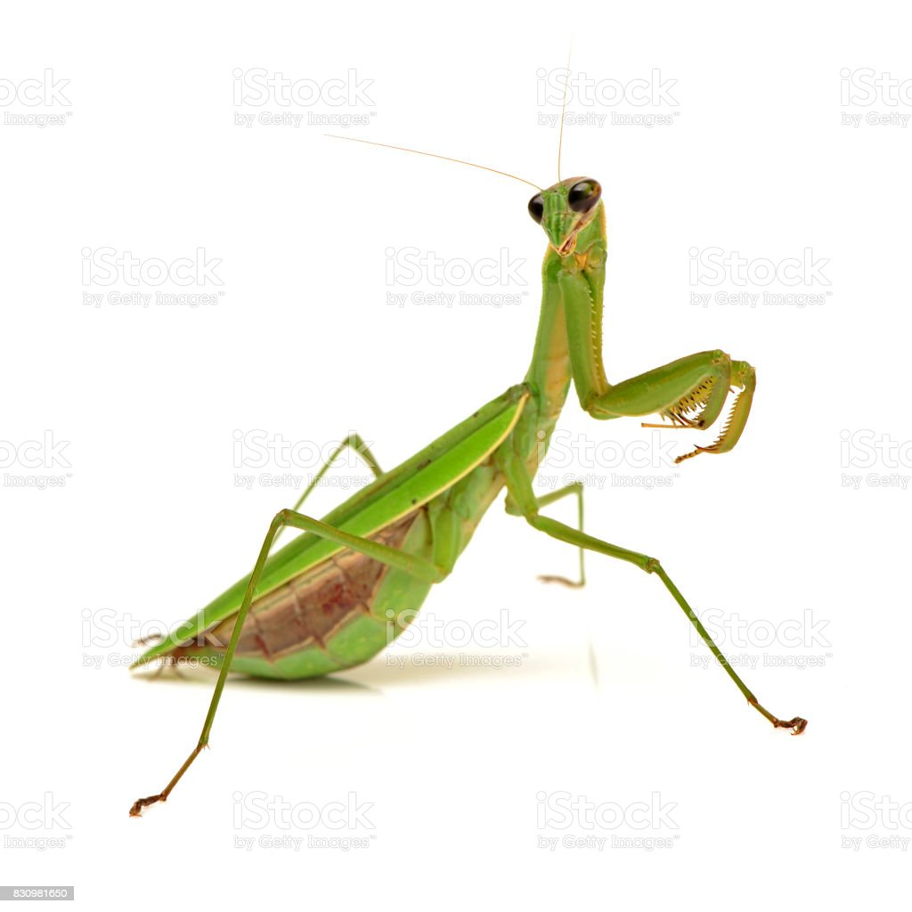 Praying Mantis On White Background Stock Photo & More Pictures of ...