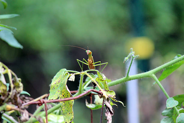 praying mantis perched on tomato plant - pam schodt stock photos and pictures