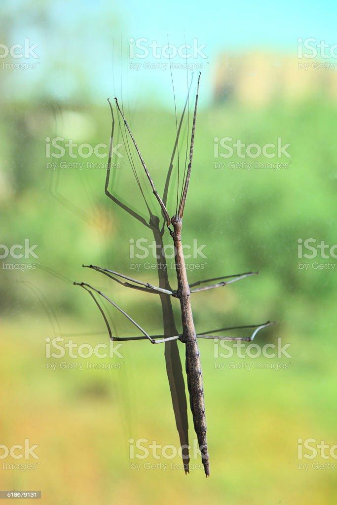 Praying Mantis Phasmatodea Walking Stick Insect Stock Photo