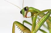 Closeup of a mantis nimph at dawn in a floweer.