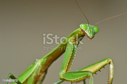 Large female praying mantis