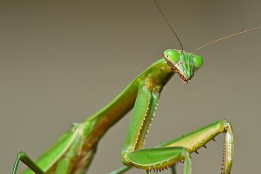 Female European Mantis or Praying Mantis, Mantis Religiosa. Green praying mantis.