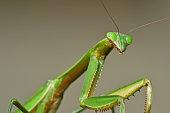 Large female praying mantis