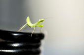 Praying Mantis at the edge of a black table with sun flare on brown background.