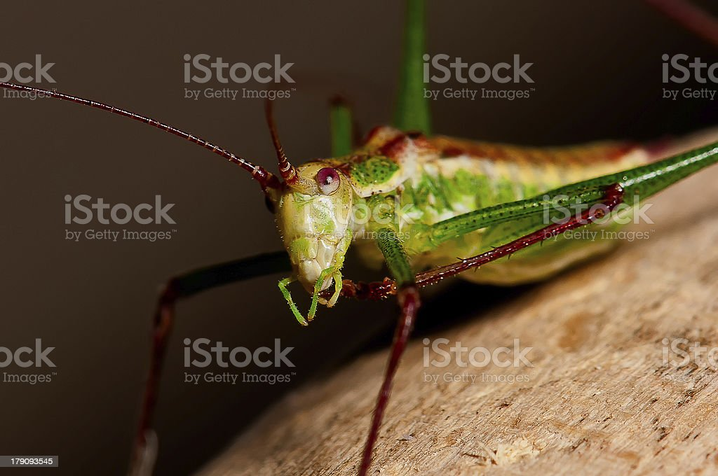 Praying mantis royalty-free stock photo
