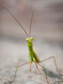 Close up of Praying mantis.
