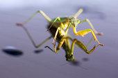 Praying mantis, tenodera aridifolia sinensis