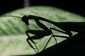 Green praying mantis silhouette