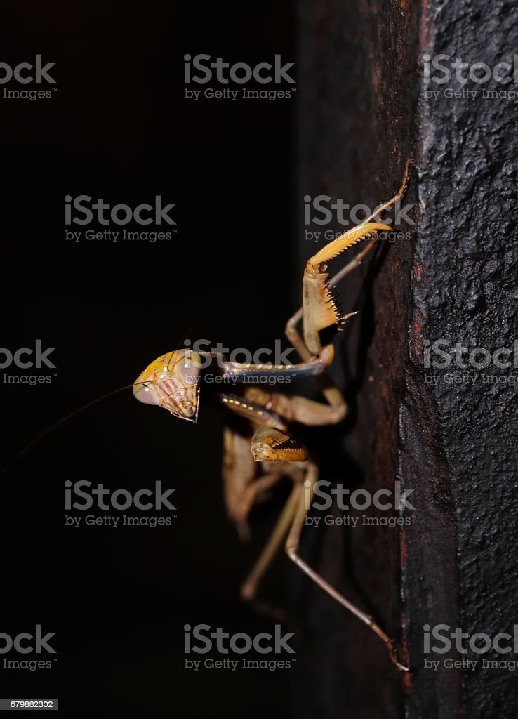 A praying mantis stock photo