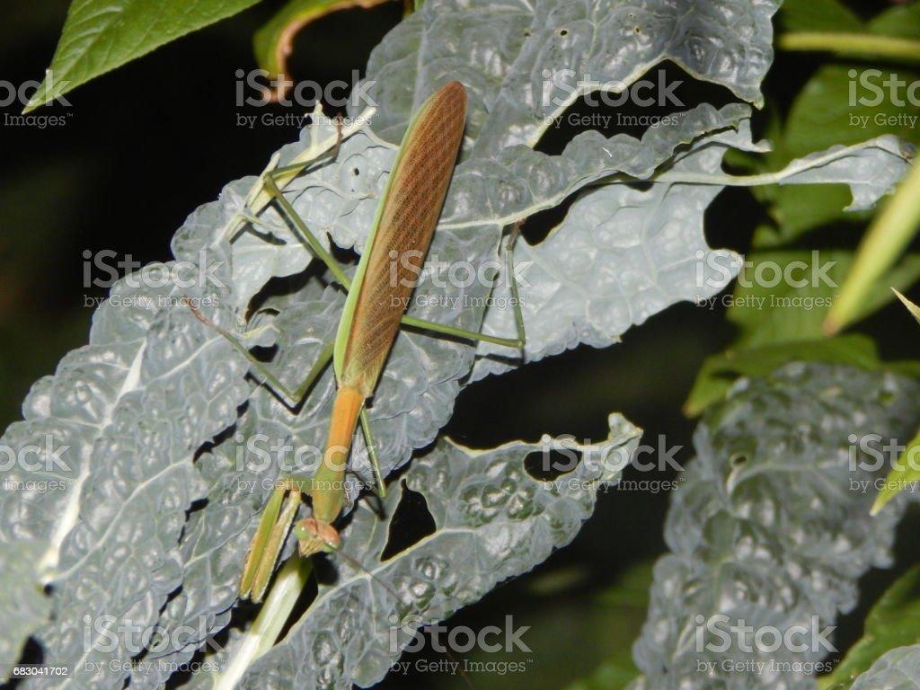 Praying Mantis foto de stock royalty-free