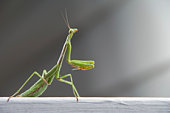 Image of a siam giant stick insect on nature background. Insect Animal