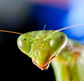 macro of a praying mantis