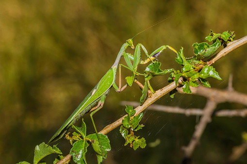 A praying mantis looking straight at the camera.