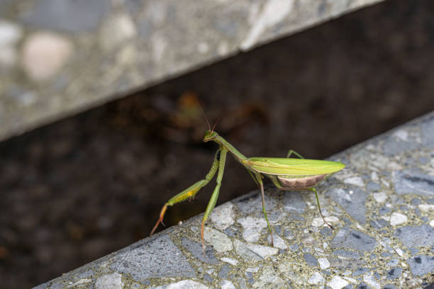 Praying mantis sits on a staircase and looks into the camera stock photo