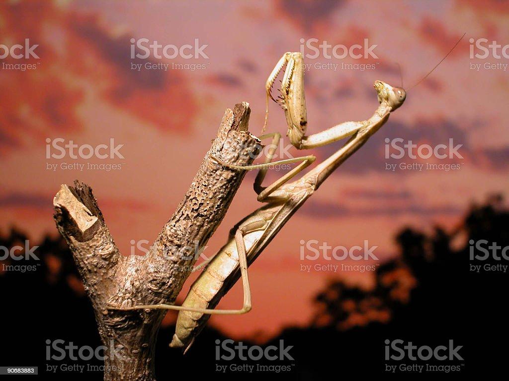 Praying Mantis Sunset royalty-free stock photo