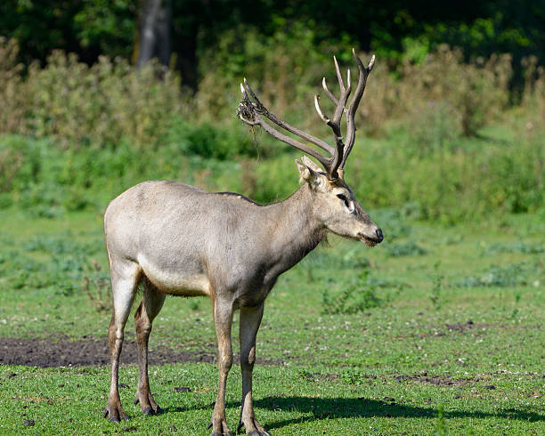 P?re David's deer stock photo