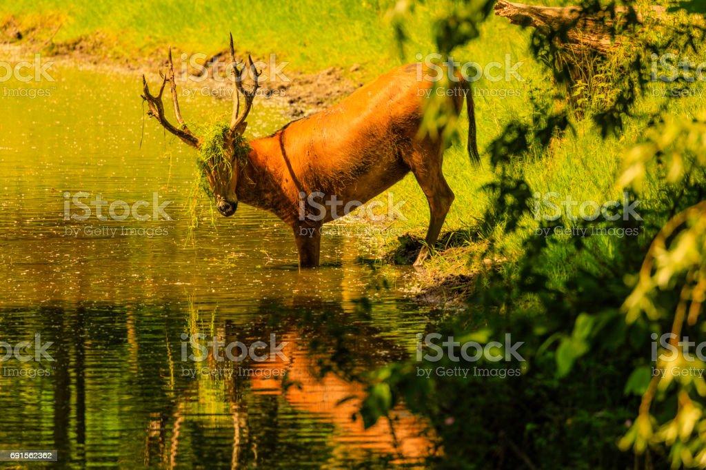Père David's Deer stock photo