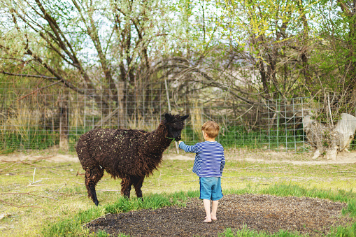 In Western USA Pre School Age Boy Feeding an Alpaca and Enjoying Farm Life (Shot with Canon 5DS 50.6mp photos professionally retouched - Lightroom / Photoshop - original size 5792 x 8688 downsampled as needed for clarity and select focus used for dramatic effect)