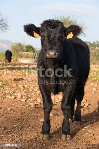 Precious black angus young cattle on a farm