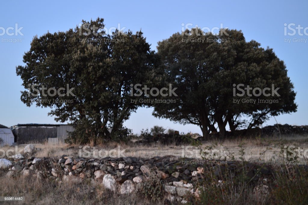 Precious Twin Holm Oak  At Sunset In Becerril. Landscape Holidays Travel stock photo