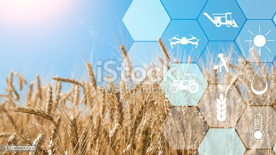 Smart farming and agritech. Precision agriculture network icons on wheat field background, empty space
