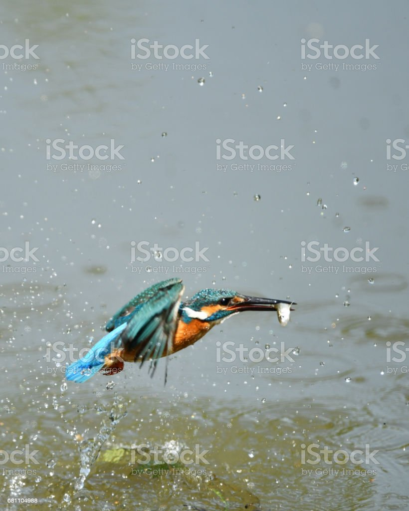 Predation of kingfisher royalty-free stock photo