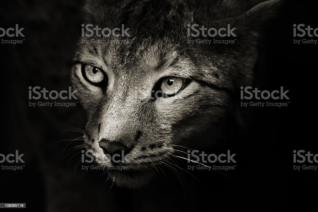 Predator In The Darkness stock photo