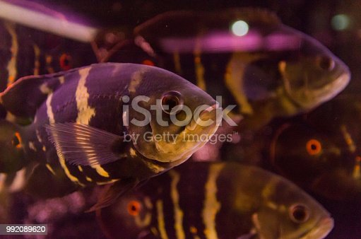 Predatory fish close-up of the species Astronotus Okellatus, inhabitant of the southern tributaries of the Amazon