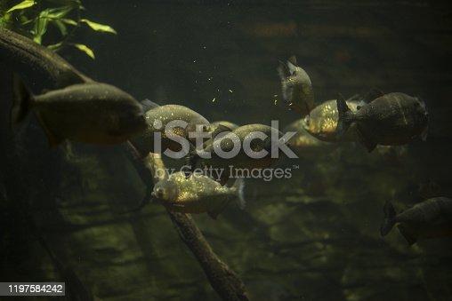 istock Predatory fish 1197584242