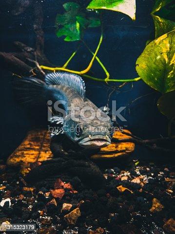 istock Predatory fish 1315323179