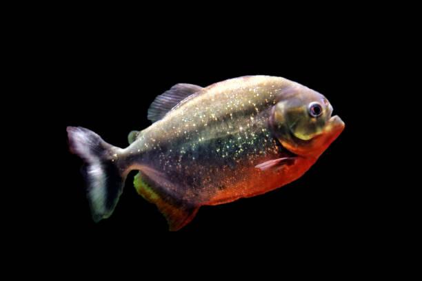 predatory fish piranha - pirania zdjęcia i obrazy z banku zdjęć