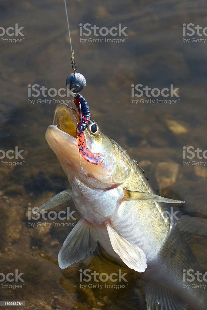 Predatory fish walleye on hook stock photo