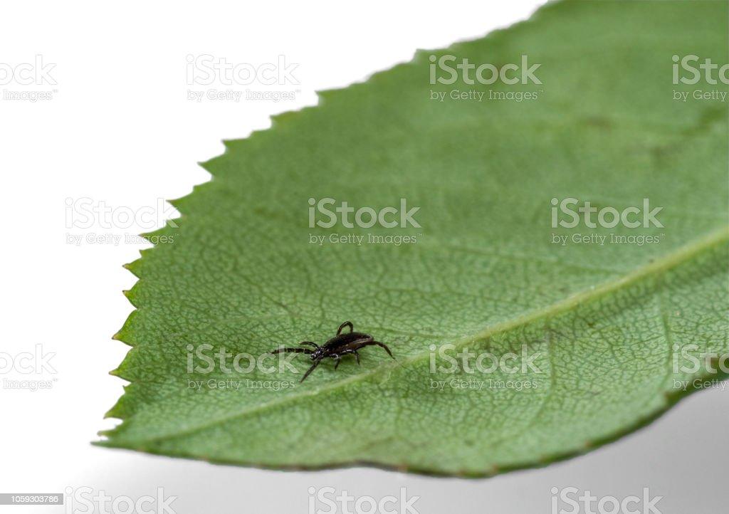 A predatory (parasitic) tick climbs a leaf of a plant stock photo